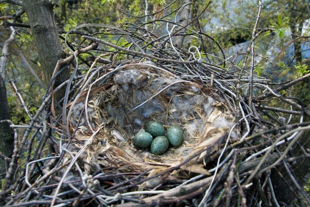 Гнездо вороны
