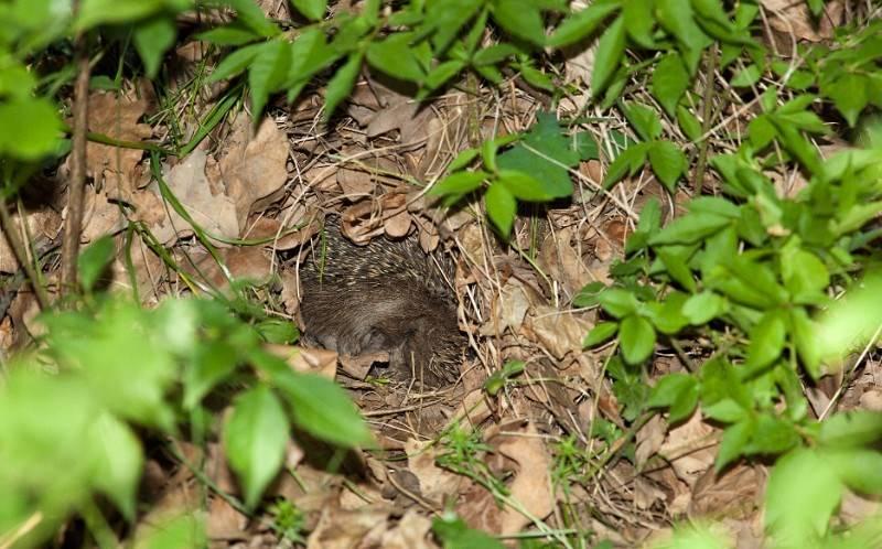 Гнездо ежа фото
