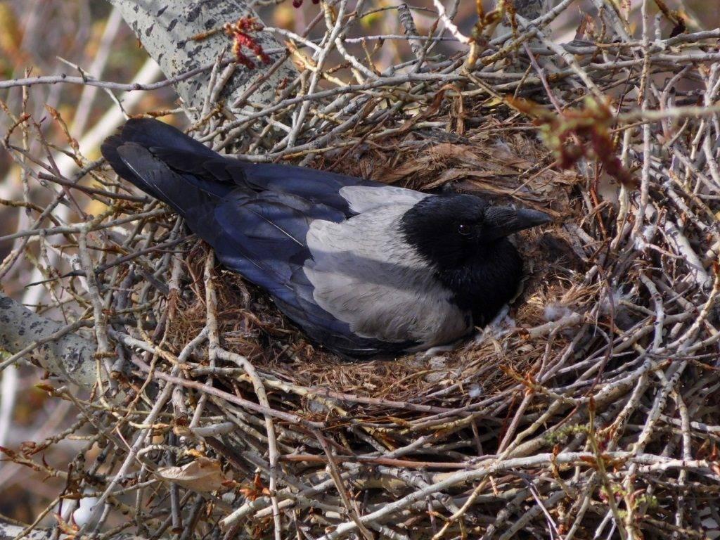 Гнездо серой вороны