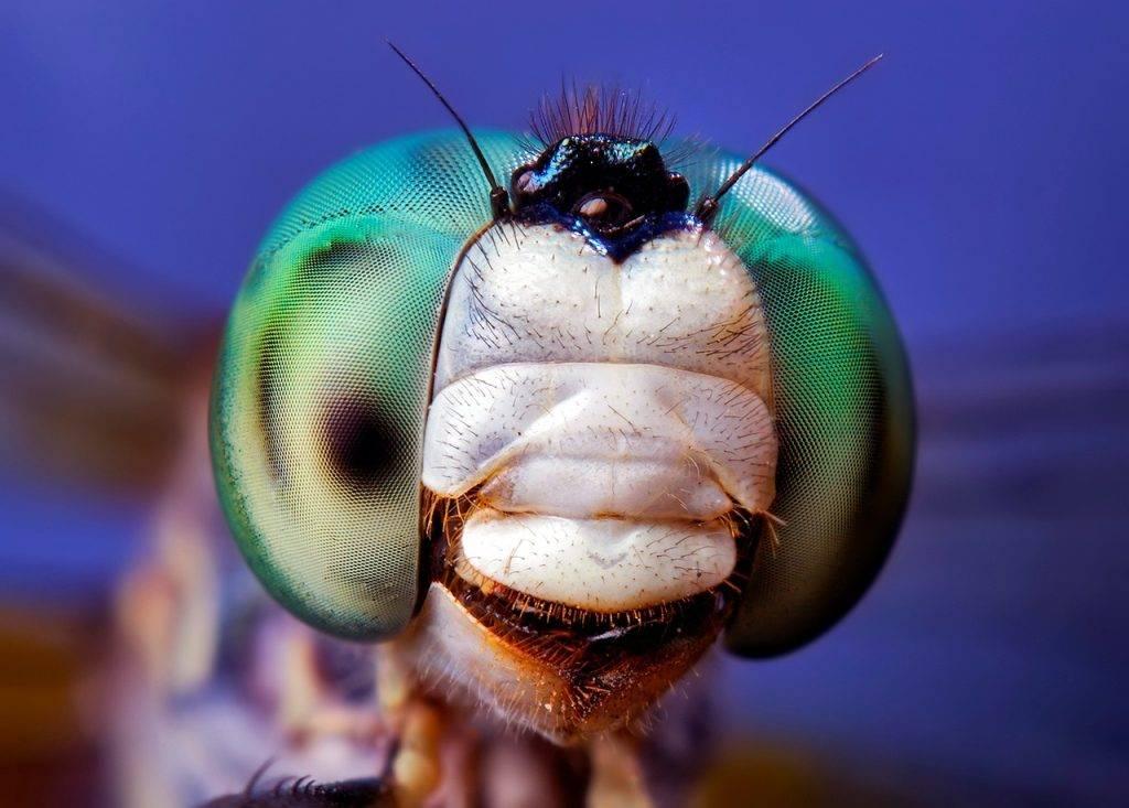 Голова стрекозы