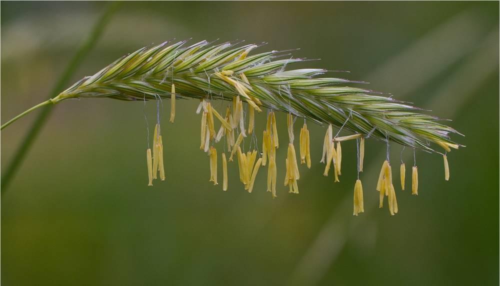 Горная рожь (лат. Secale montanum)