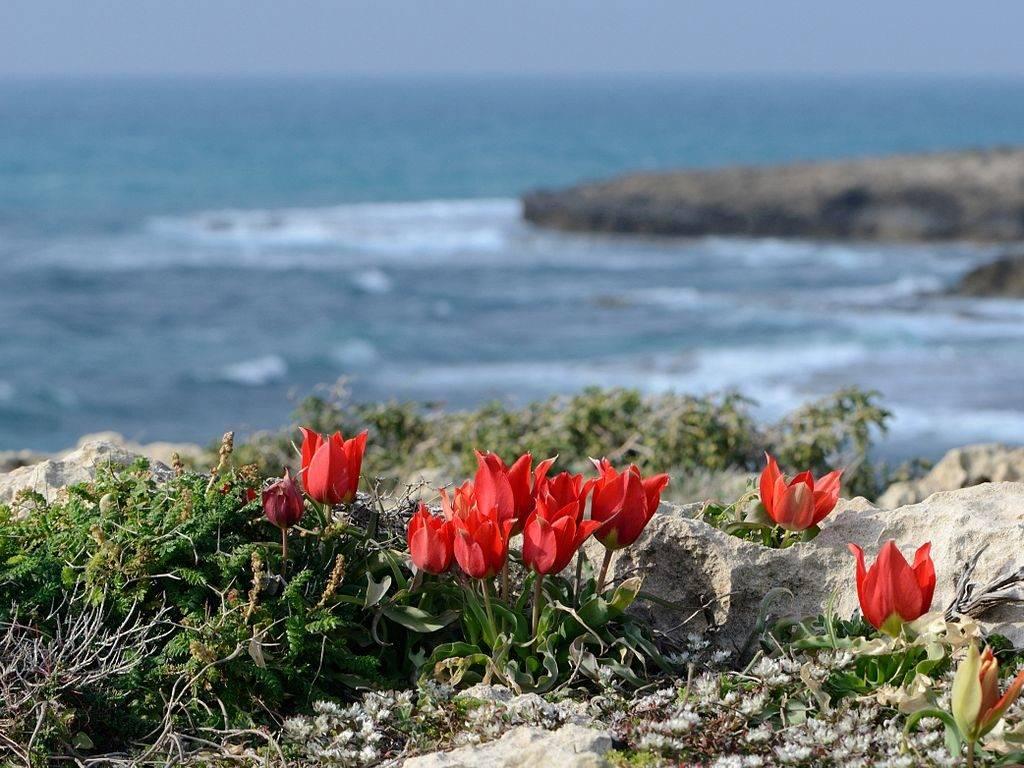Горный тюльпан
