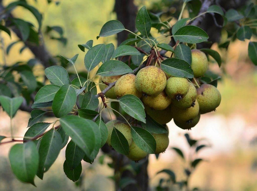 Груша Буасье (лат. Pyrus boissieriana)