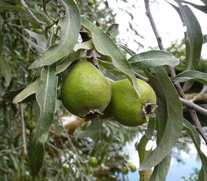Груша иволистная (лат. Pyrus salicifolia)