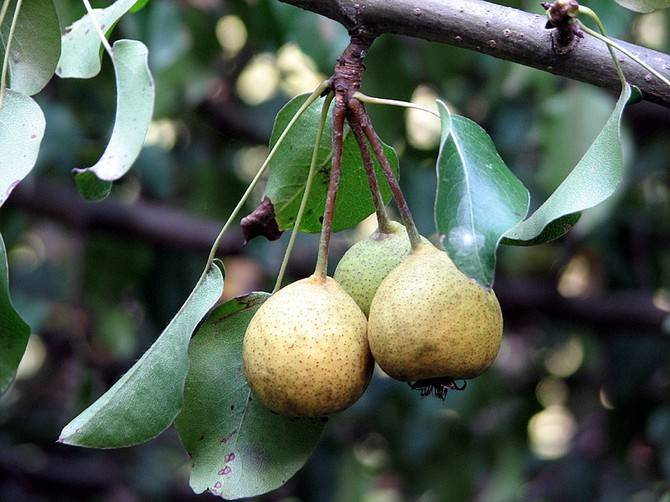 Груша лесная (лат. Pyrus communis subsp. pyraster)