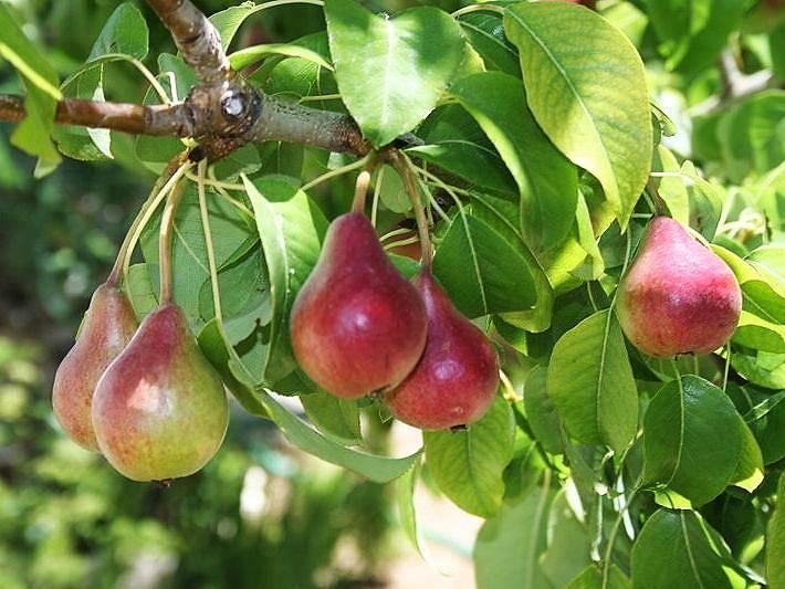 Груша лохолистная (лат. Pyrus elaeagrifolia)