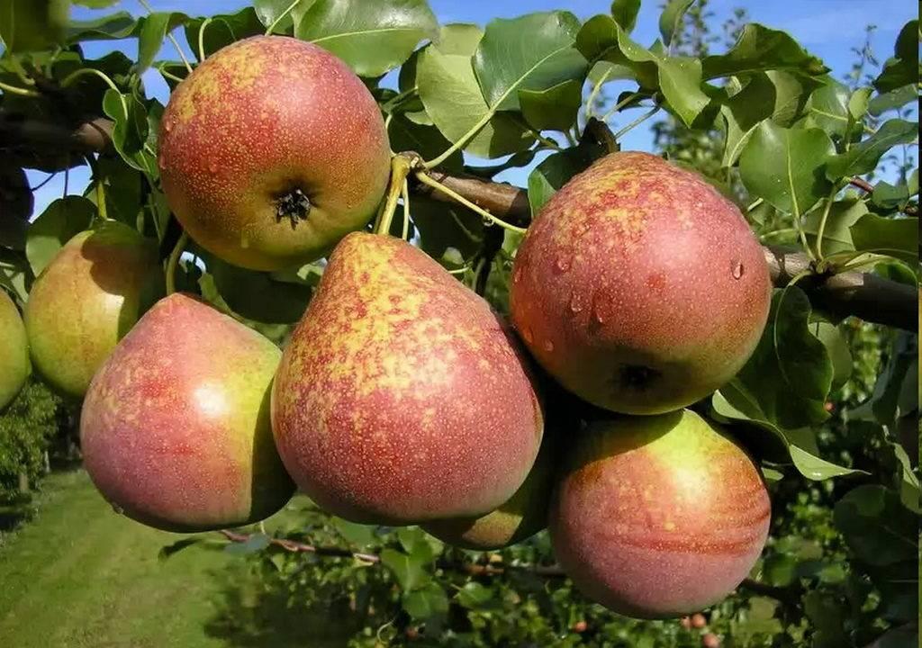 Десертная груша сорта Мраморная