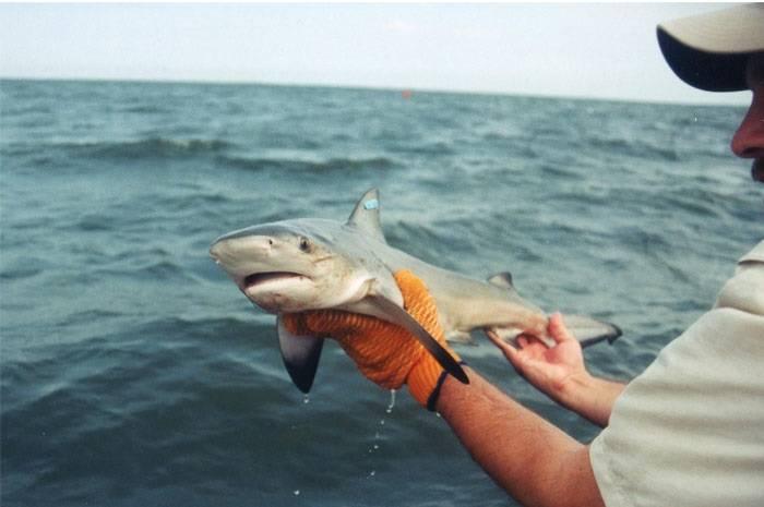 Детеныш тупорылой акулы