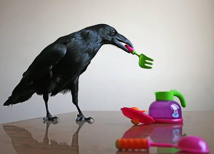 Чем кормят ворону в домашних условиях