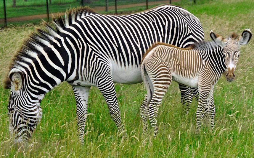 Жеребёнок зебры