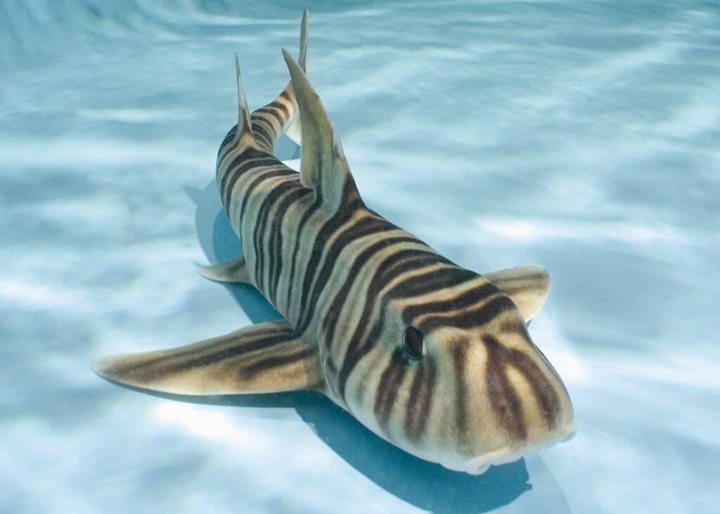 Зебровидная бычья (китайская бычья, узкополосая бычья, узкополосая рогатая) акула (лат. Heterodontus zebra)