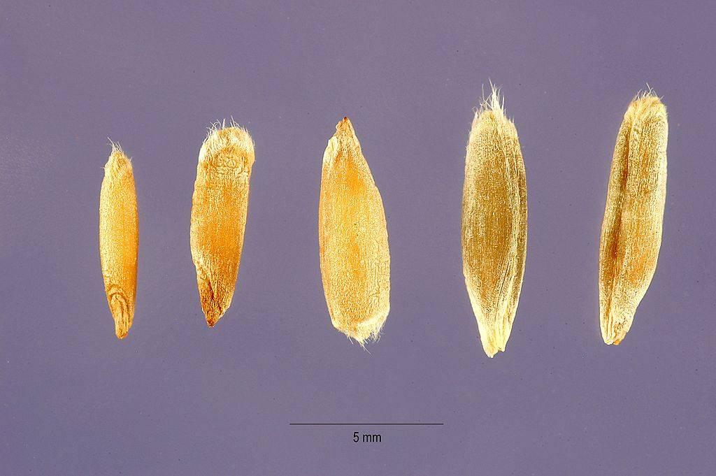 Рожь фото зерна и колоса