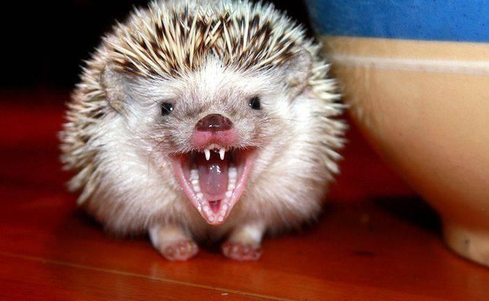 Зубы ежа фото