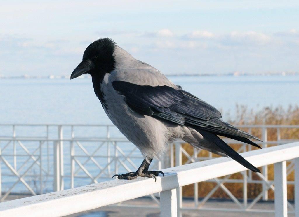 Как выглядит ворона фото