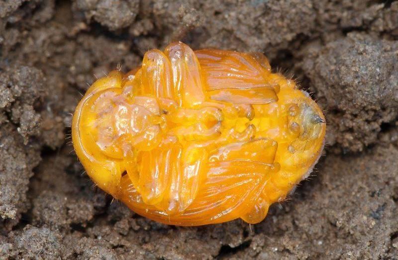 Как выглядит куколка колорадского жука