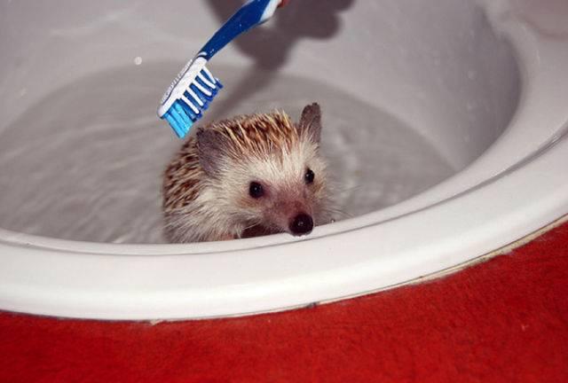 Как купать ежа