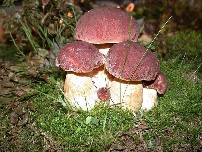 Как отличить белый гриб (на фото съедобные белые грибы)