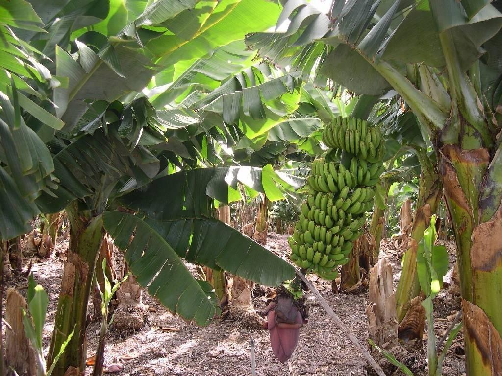 Как растут бананы фото