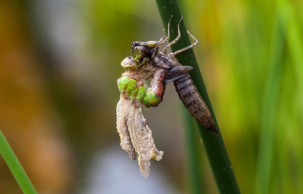 Как рождается стрекоза