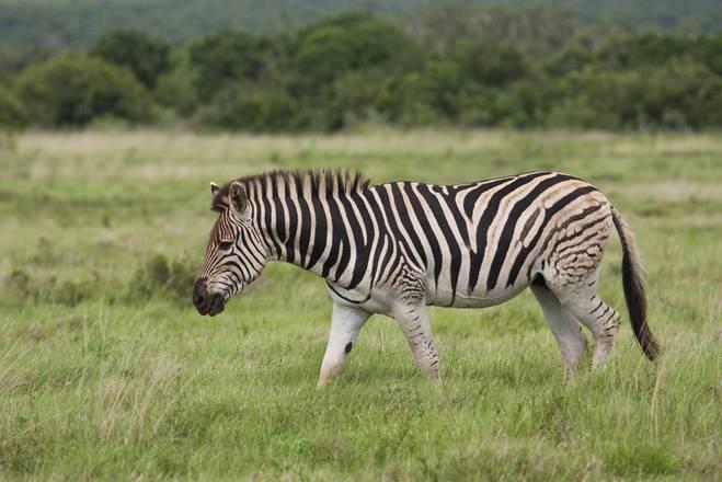 Капская горная зебра (лат. Equus zebra zebra)