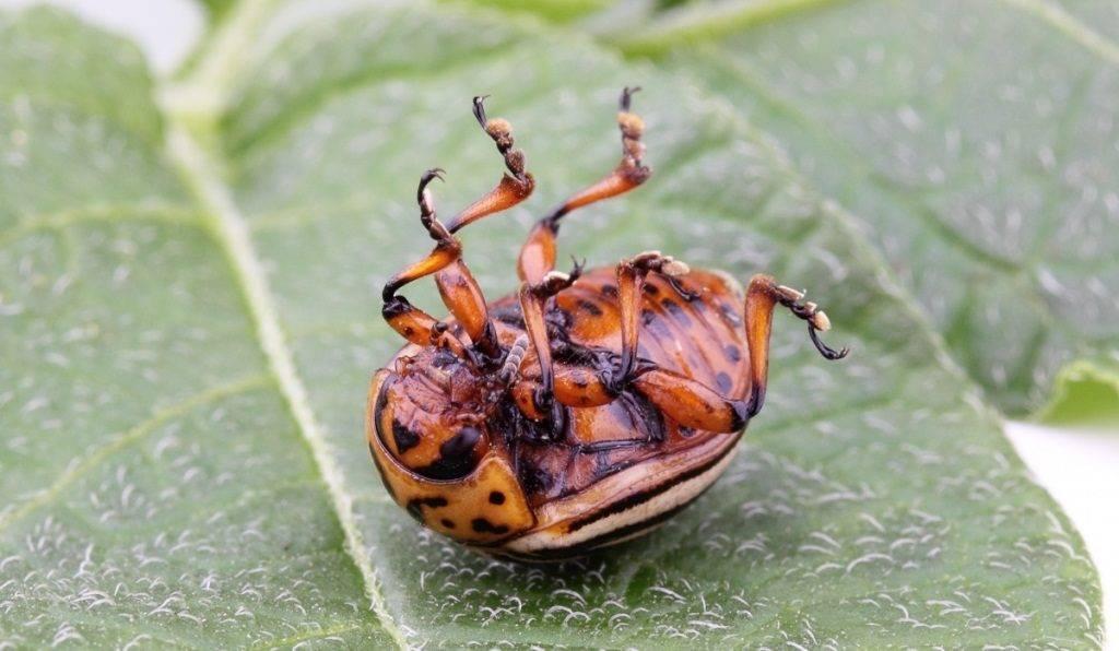 Колорадский жук фото крупным планом