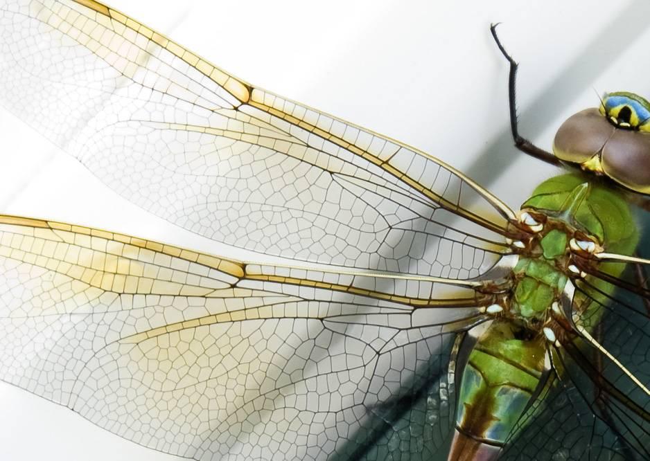 Крылья стрекозы фото