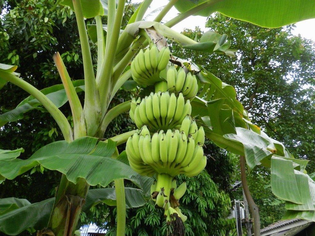Куст банана