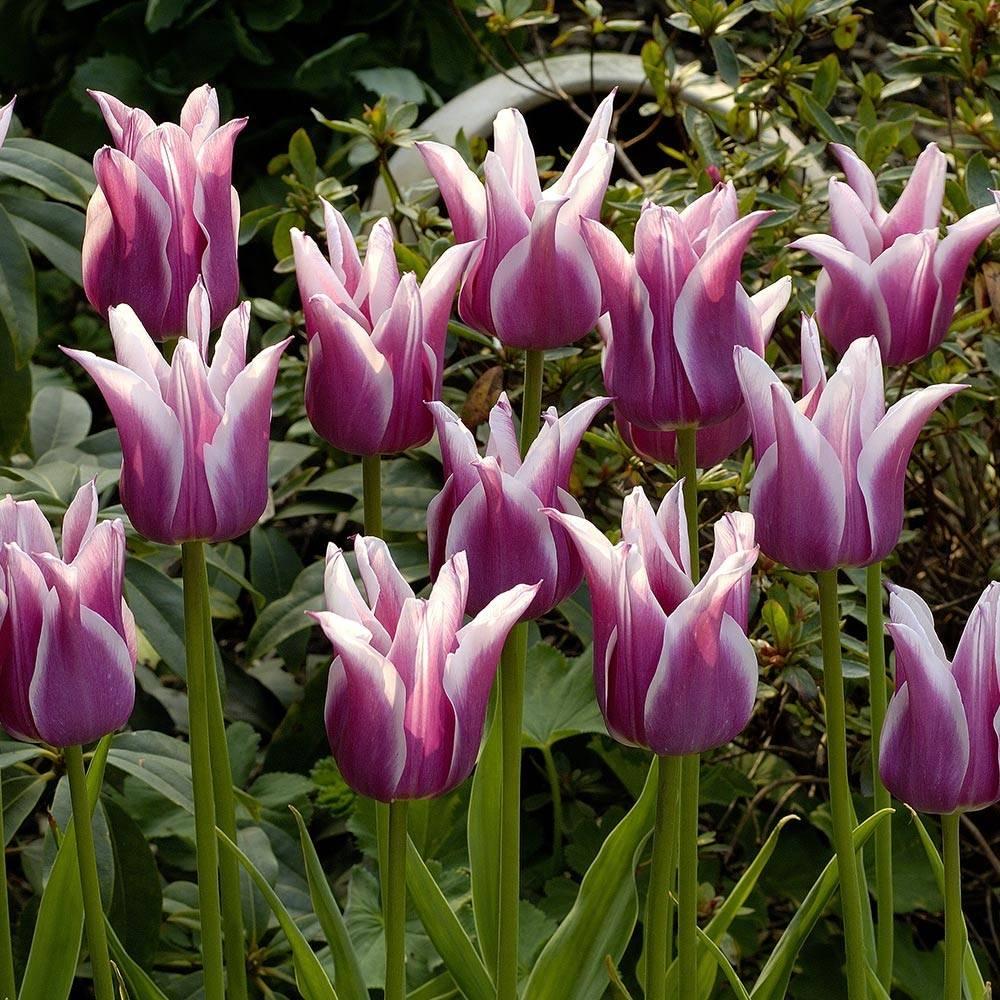 Лилиецветный тюльпан Баллада (Ballada)
