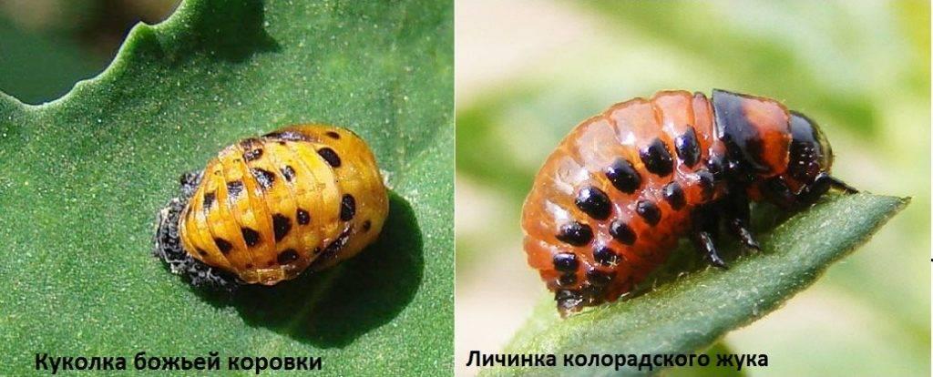 Личинка колорадского жука и куколка божьей коровки