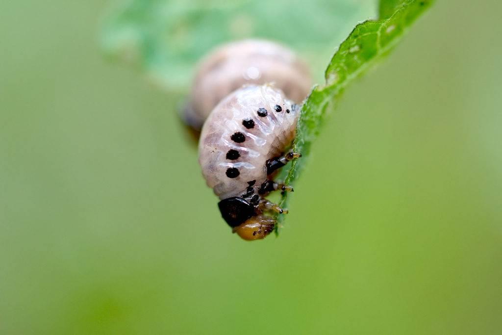 Личинка ложного картофельного жука