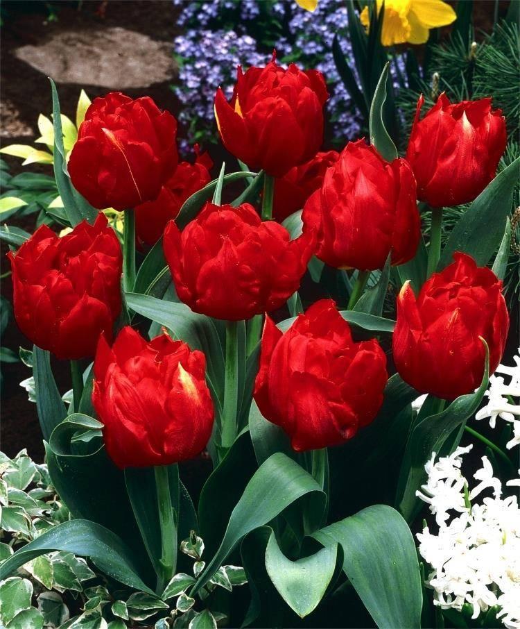 Низкорослый тюльпан Абба (Abba) фото