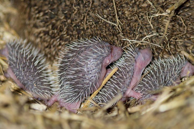 Новорожденные ежики