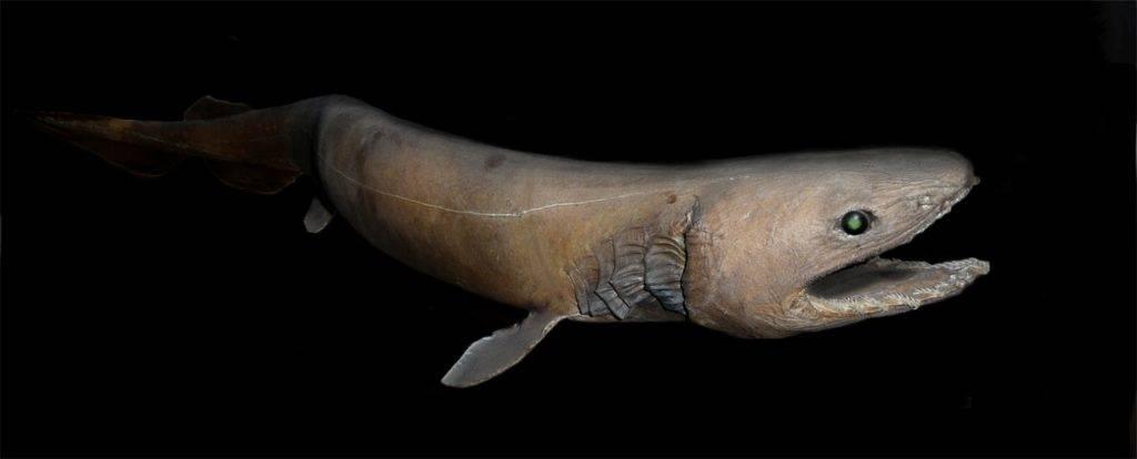 Плащеносная акула (плащеносец) (лат. Chlamydoselachus anguineus)