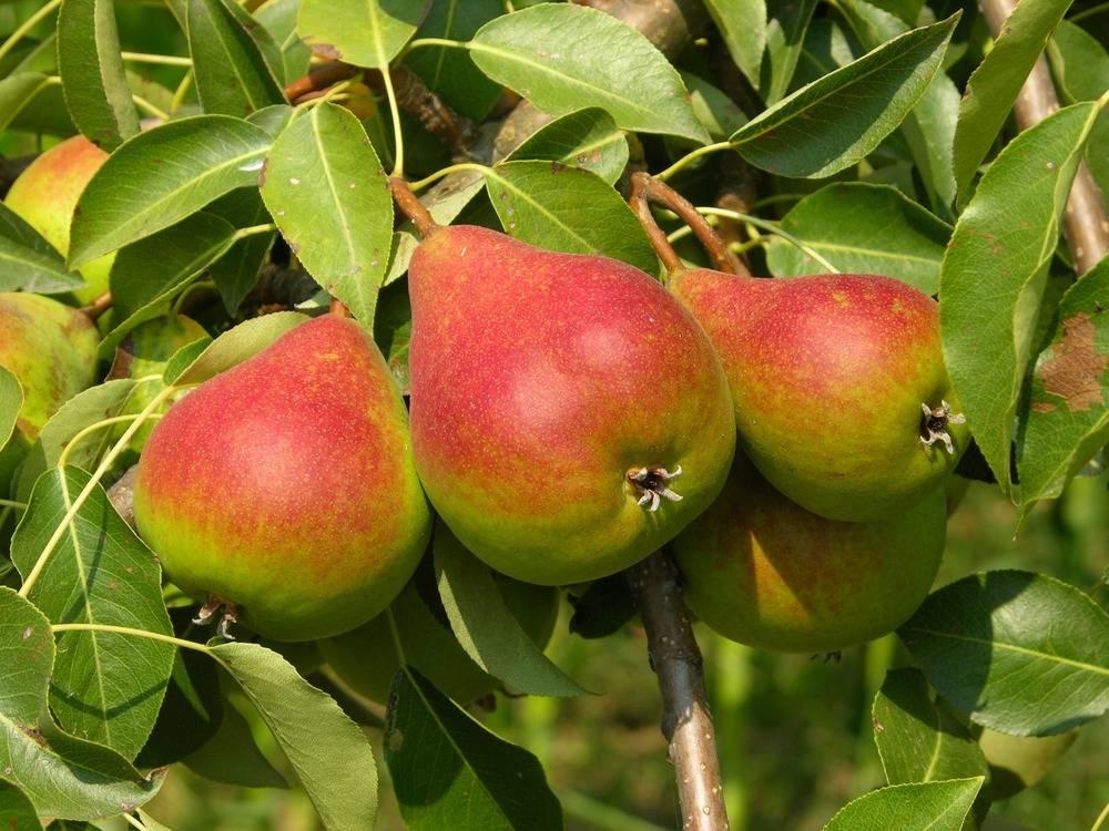Плоды груши фото