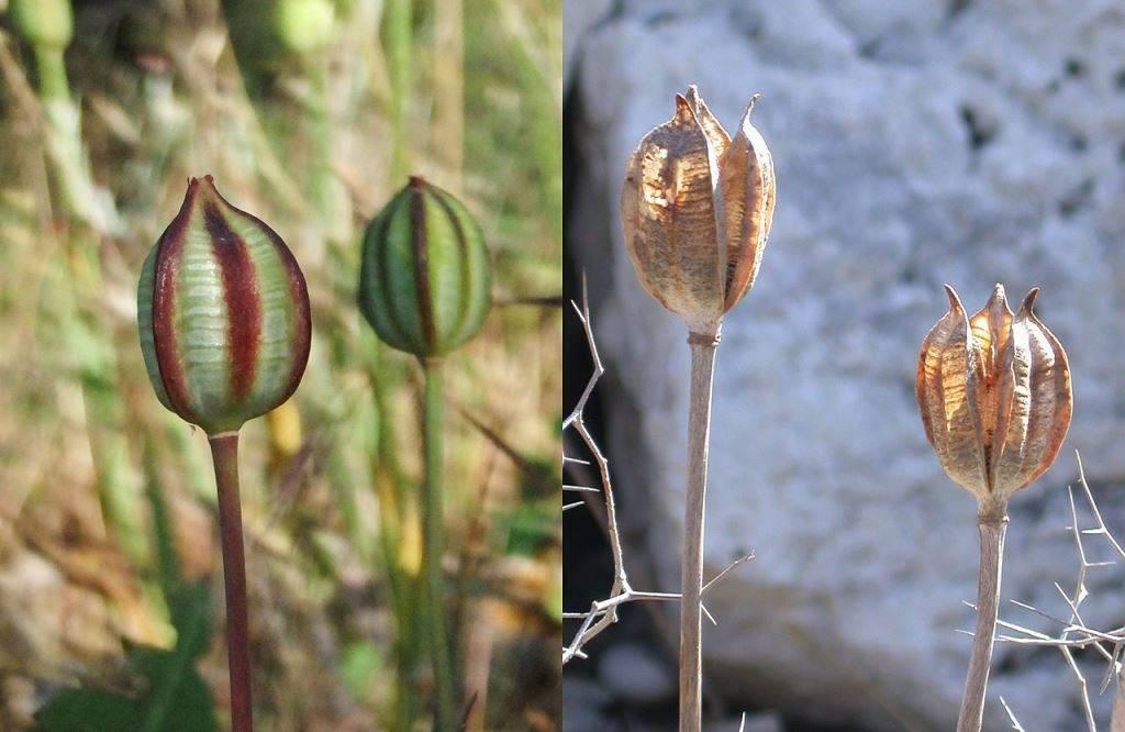 Плод тюльпана (слева незрелые коробочки, справа зрелые)