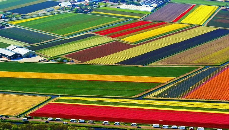 Поле тюльпанов в Голландии фото