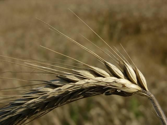 Посевная (культурная) рожь (лат. Secale cereale)