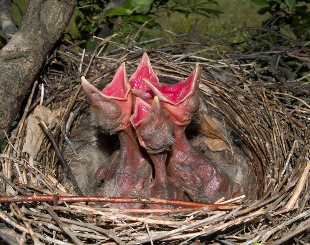 Птенцы вороны фото
