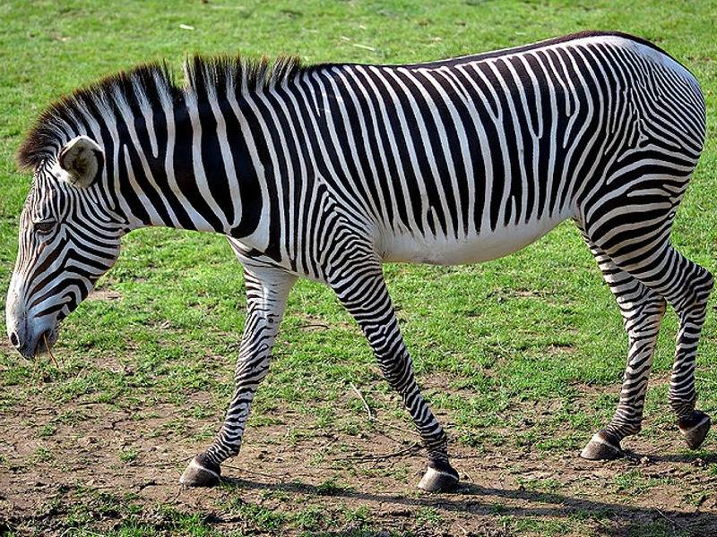 Пустынная зебра, зебра Греви (лат. Equus grevyi)