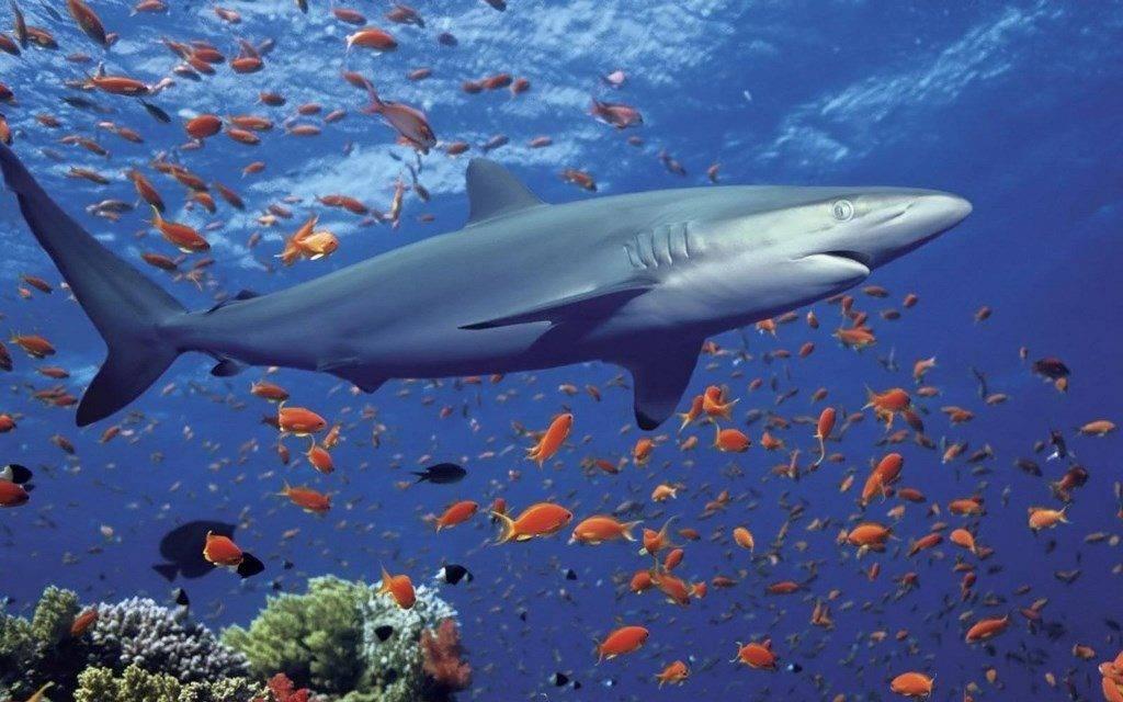 Рифовая акула фото