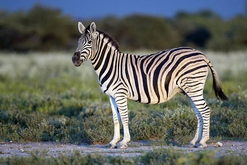 Саванная зебра, бурчеллова зебра (лат. Equus quagga)