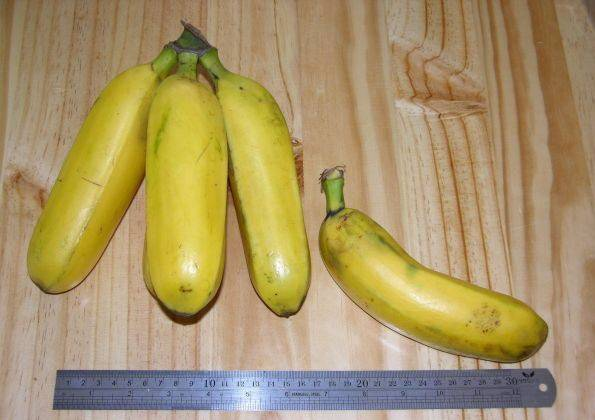 Сорт банана Гро-Мишель (Gros Michel)
