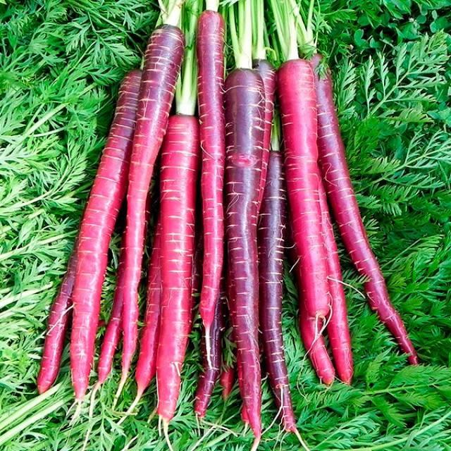 Сорт ранней моркови «Драгон» фиолетового цвета