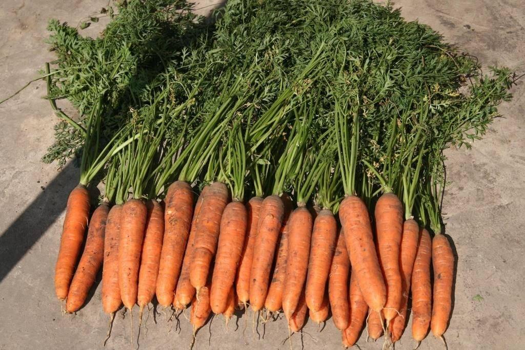 Среднеспелая морковь «Самсон»