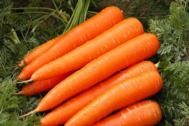 Среднеспелый сорт моркови «Витаминная»