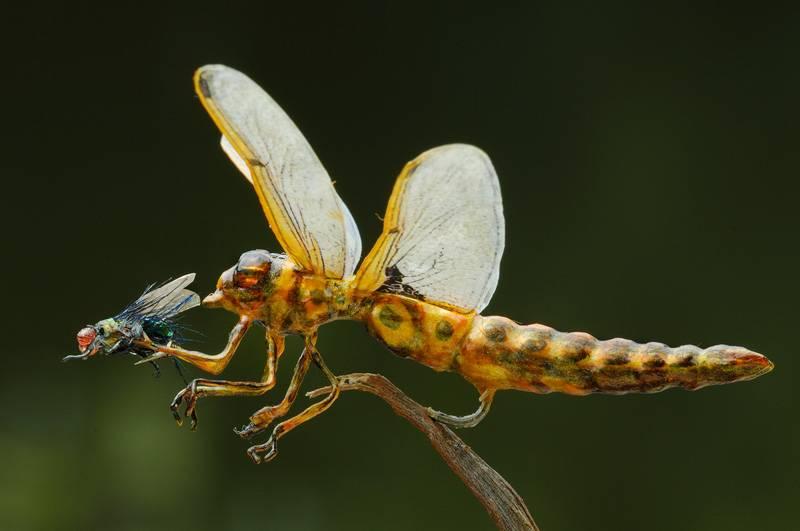Стрекоза ест муху