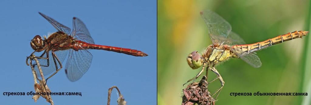Стрекоза обыкновенная самец и самка