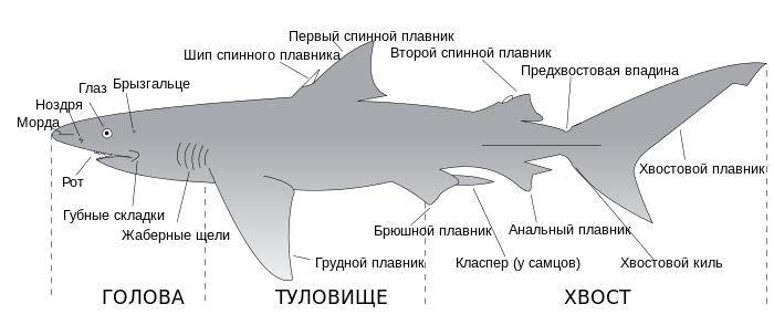 Строение акулы