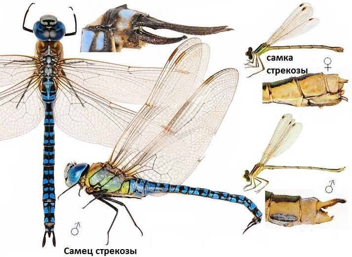 Строение самца и самки стрекозы