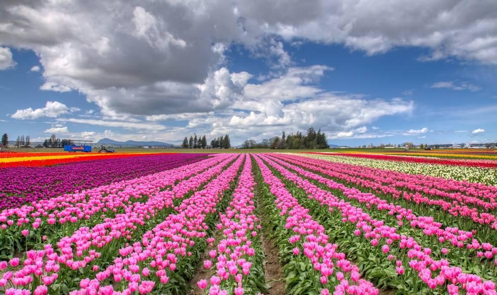 Тюльпановое поле в Голландии фото